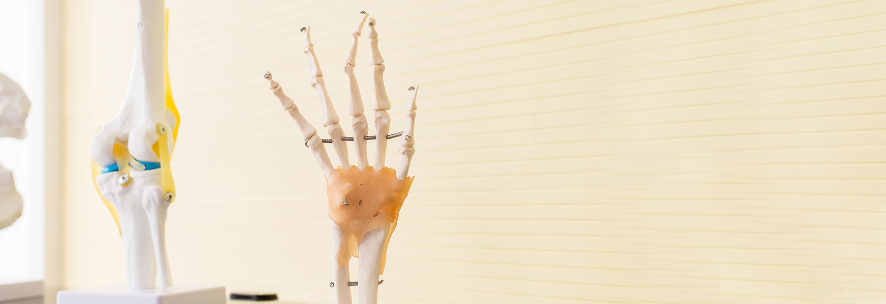 Plastic skeleton showing hand anatomy