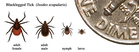 Lyme Disease in the U.S.: Identifying Ticks.