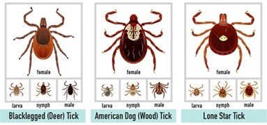 Ticks and Lyme Disease: What do Ticks look like?
