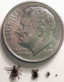 Ticks next to a dime to compare size differences.
